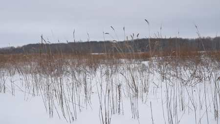 sways: dry grass sways in wind snow winter field Beautiful nature landscape Stock Photo