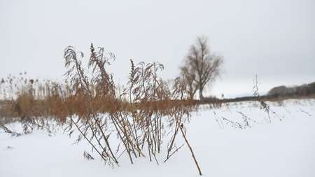 sways: dry grass sways in wind in winter snow landscape nature Stock Photo
