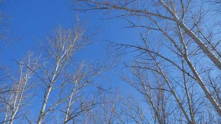 dry tree tops on blue sky winter forest the nature landscape Stock Photo