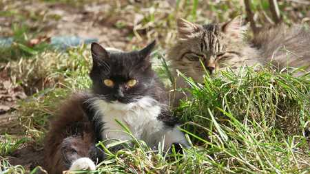 wash: The cat pet domestic lies on the grass licks the wool is washed