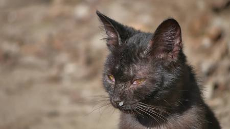 Old sick runny snot runny nose homeless cat pet outdoor