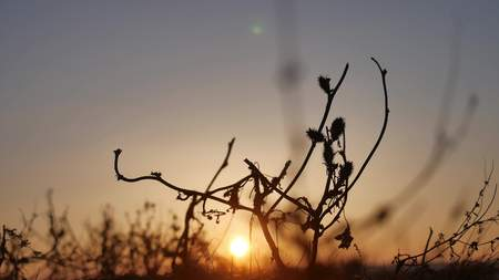 swaying: nature sunset. grass swaying in the wind on nature a beautiful sunset silhouette