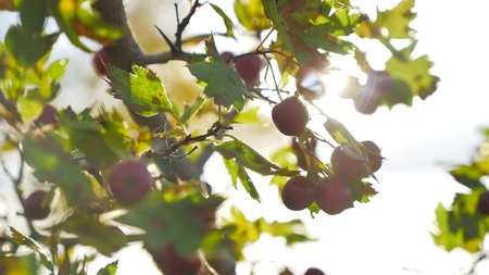 Red berries on thorny branches Red berries. branch sunlight autumn and leaves on thorny branches hawthorn or thornapple Crataegus, common hawthorn, singleseed hawthorn close-up, selective focus,