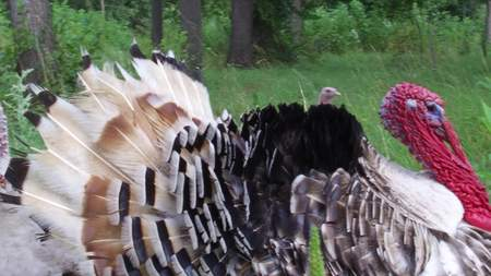 The black turkey on a spring meadow. The black turkey on a spring meadow Stock Photo