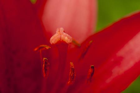 lilia: Red Lilia macro