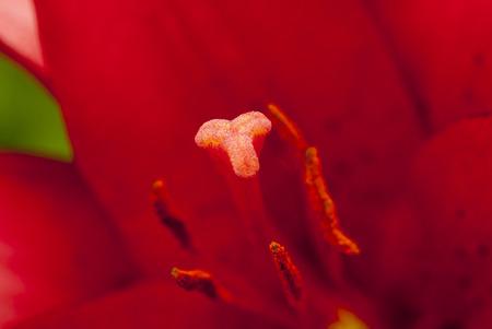 lilia: red lilium