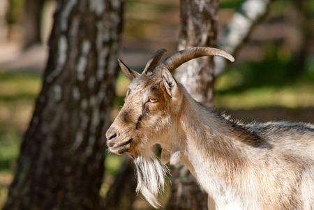 head close up: Goat head close up