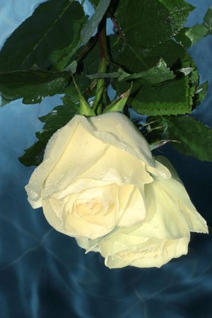 White rose on a water Stock Photo - 2637983