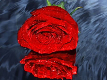 Red rose on a water Stock Photo - 2637990