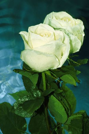 White rose on a water Stock Photo - 2751840