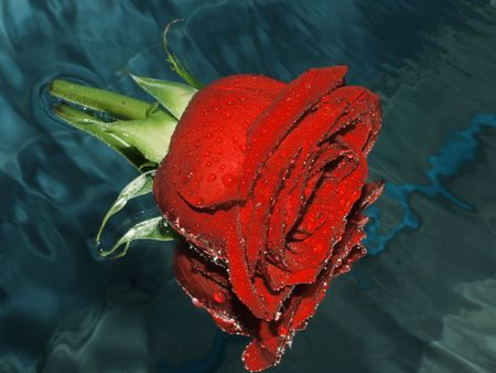 Red rose on a water Stock Photo - 2751817