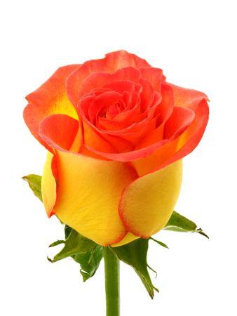 Yellow rose Stock Photo - 3140592