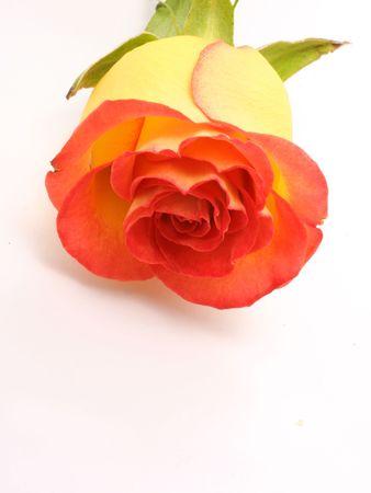 Yellow rose Stock Photo - 3242969