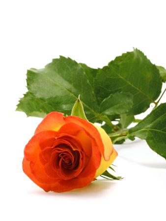 Yellow rose Stock Photo - 3349588