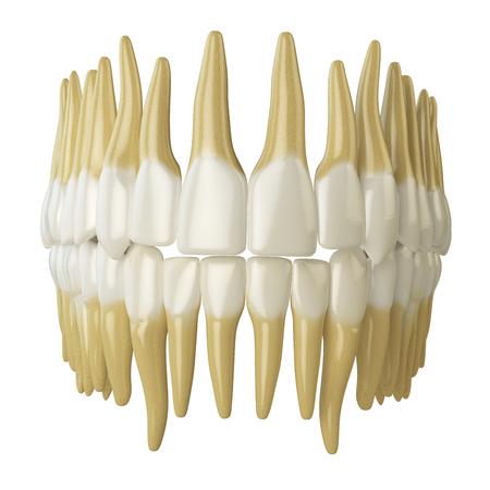 dentin: Human teeth  isolated on white. 3d illustration Stock Photo