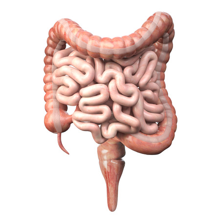 Large and small Intestine isolated on white. Human digestive system anatomy.