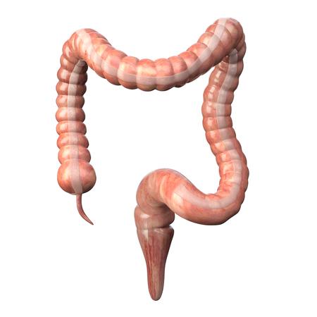 Gros intestin médicalement précis isolé sur blanc. Anatomie du système digestif humain.