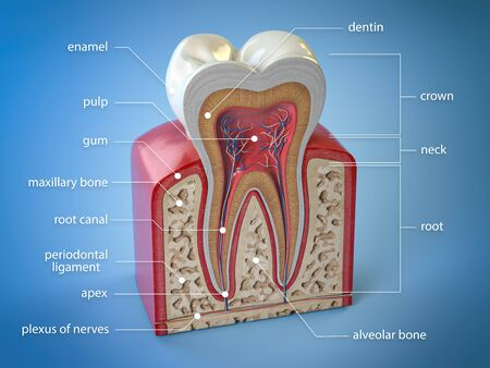 Dental tooth anatomy. Cross section of human tooth with infographics and description.