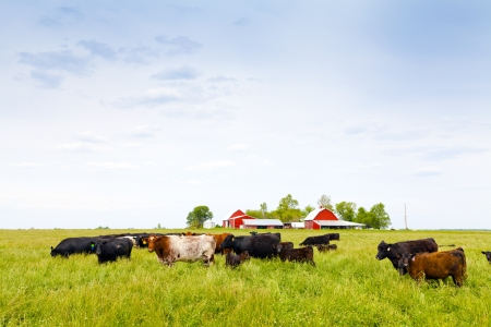 Cows Stock Photo - 13780085