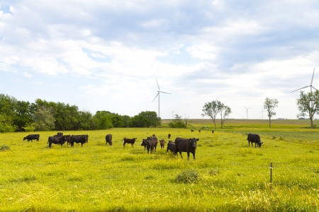 American Countryside (Cows) photo