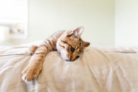 grey cat: Kitten