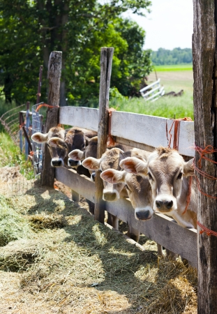 animal farm: Brown cows with blue sky Stock Photo
