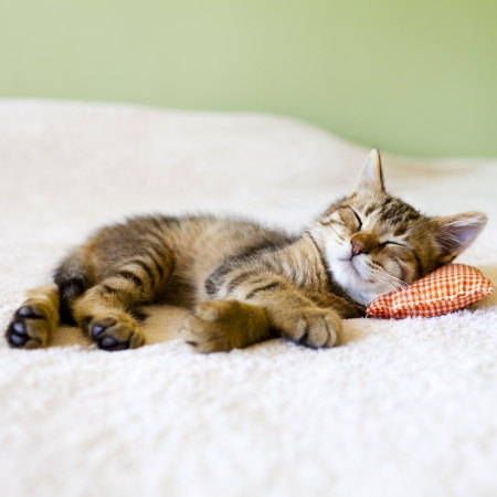 purebred cat: Small Kitty With Red Pillow