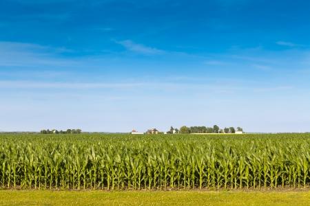 corn rows: American Farmland With Blue Sky