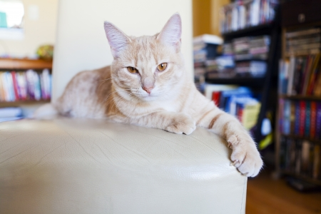 Tabby cat scratching furniture photo