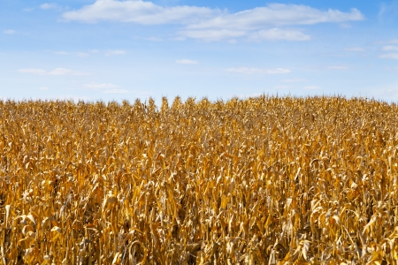 Golden Dry Corn On American Countryside  photo