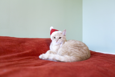 Sleeping Young Cat With Holiday Background  photo