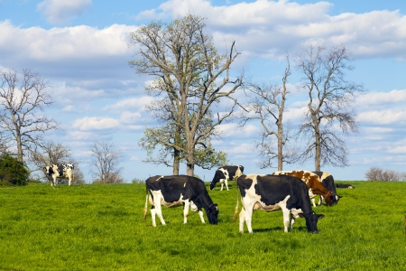 dairy cow: Cows on field with blue sky