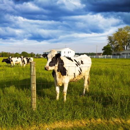 Dairy Farm With Stormy Weather photo