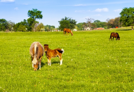 Beautiful horses on american farm photo
