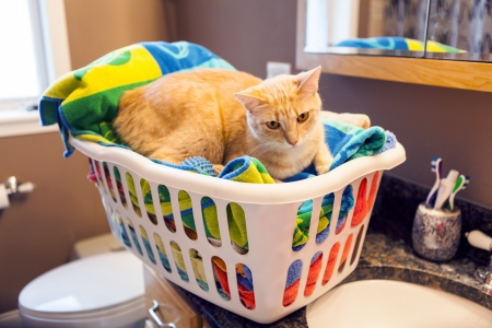 scamp: Young Cat in laundy basket