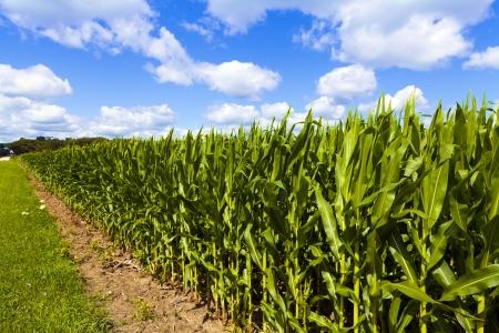 corn field: Corn Field With Cloudy Sky Stock Photo