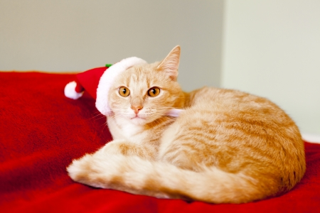 lying in: Young cat in a Christmas setting, lying on the bed   Stock Photo