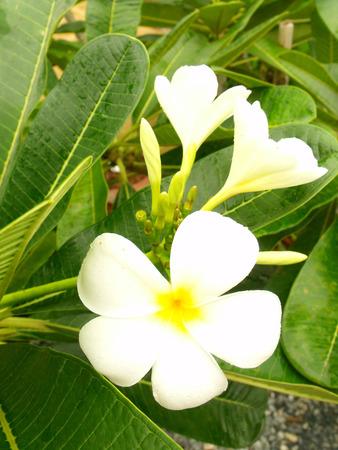 plumeria blossom photo