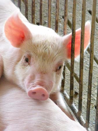 pigpen: young piglet at pig breeding farm