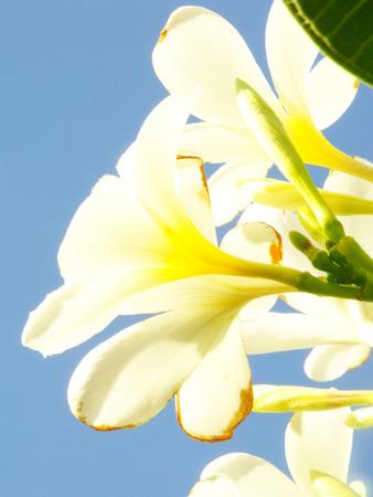adenium: white adenium obesum flower on blue sky