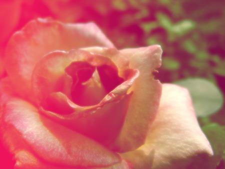 fleurs romantique: belles fleurs faites avec des couleurs filtres fleurs romantiques fond Banque d'images