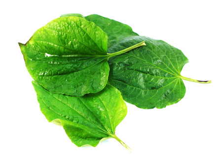 betel leaf: betel leaf isolated on white background