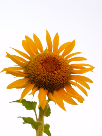 whit: sunflower on whit backgound