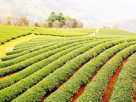 tea garden: tea garden