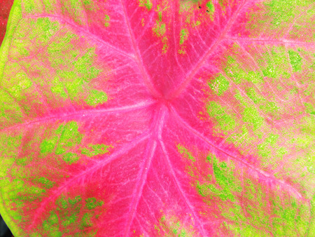 leaf shape: beautiful purple green and white caladium plant leaves