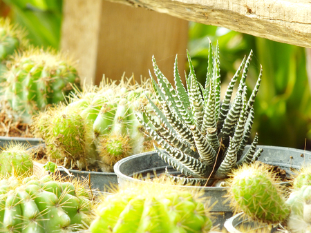 cactus botany: various cactus plants selective focus Stock Photo