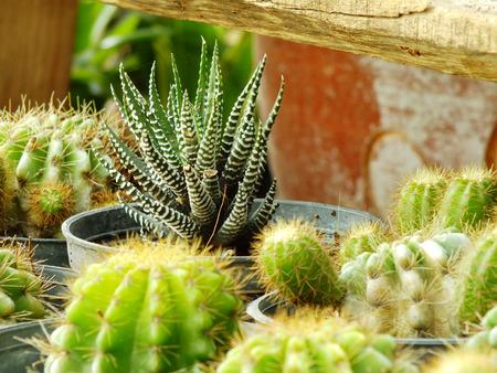 cactus botany: various cactus plants selective focus Stock Photo