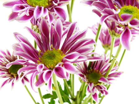 chinensis: beautiful chrysanthemums pink flowers bouquet