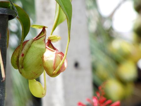 carnivorous: nepenthes carnivorous plant Stock Photo