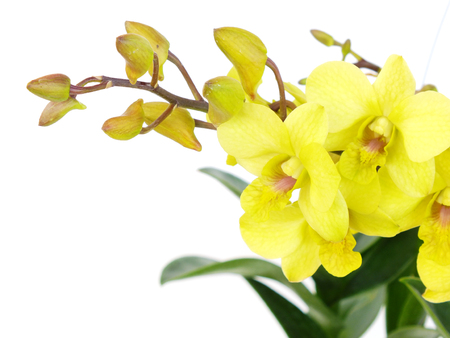 striking green orchid flowers with branch isolated on white background